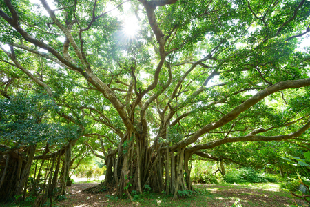 Big banyan tree in ishigaki island