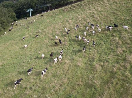 cow in pastute