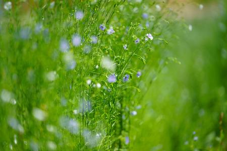 flax in hokkaido 写真素材
