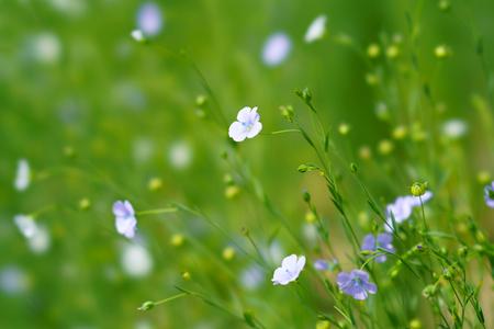 flax in summer hokkaido