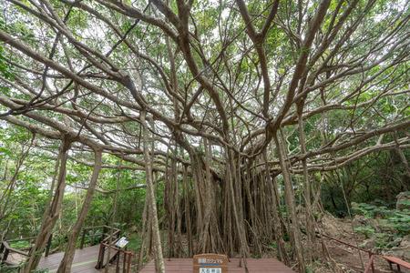 Big banyan tree in okinawa