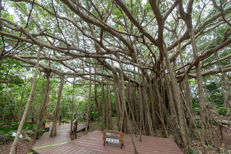 Big banyan tree in okinawa