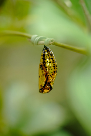 golden cocoon