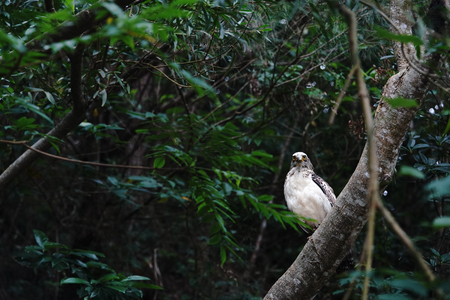 Crested serpent eagle on the branch