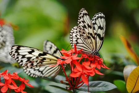 rice paper butterfly in iriomote island