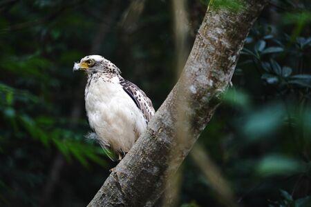 crested serpent eagle in ishigaki island Foto de archivo - 128330353