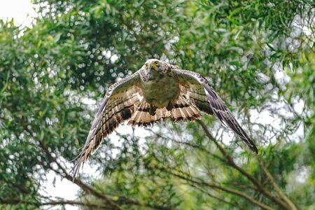 crested serpent eagle in ishigaki island