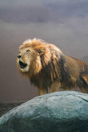 lion Imagens