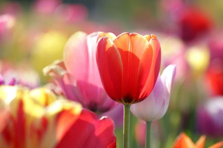 red, pink and yellow tulips blooming in a garden, a red one closeup photo