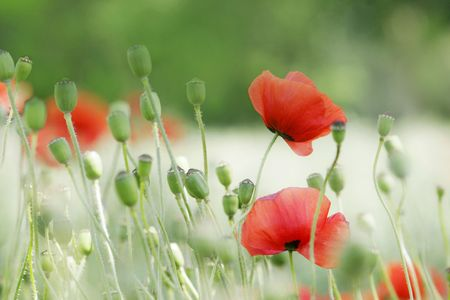 red poppies in soft summer light against blurred background Stock Photo - 5737271