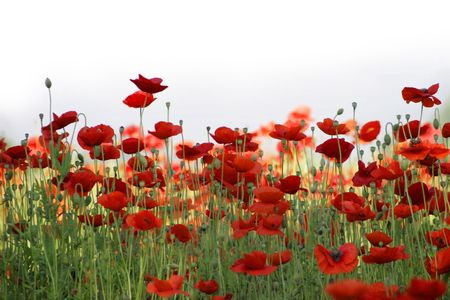 field of red poppies against high-key sky Stock Photo - 5793172