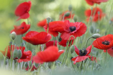 red poppies on a summer day Stock Photo - 5970757