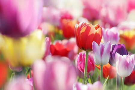field of beautiful blooming tulips photo