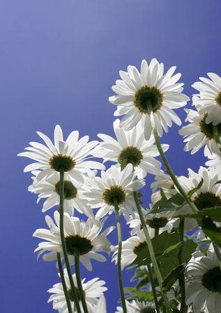 marguerites: beautiful marguerites against blue sky