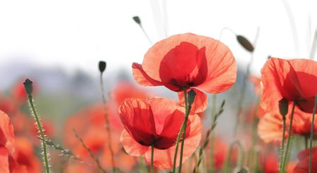 beautiful poppies closeup against highkey summer landscape Stock Photo - 6350322