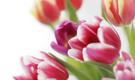 pink tulips: colorful tulips on white background Stock Photo