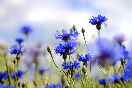 blooming blue cornflowers in a summer field