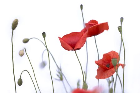 red poppies isolated on white background 版權商用圖片