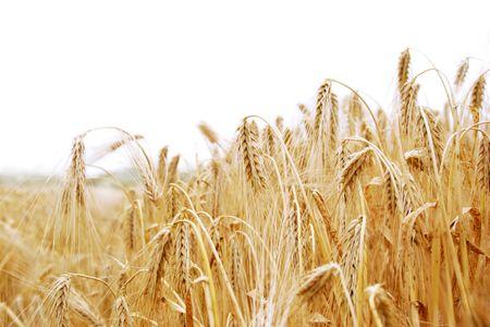 highkey: barley field highkey against white background