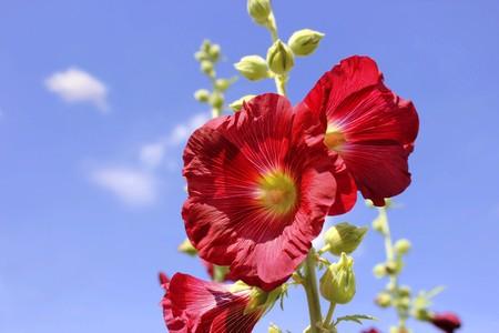 alcea: Malva en floraci�n contra el cielo azul (alcea rosea)