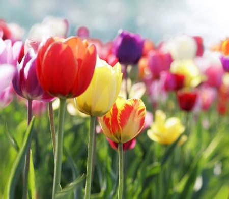 Tulipanes rojos, rosas y amarillos florece en un jardín Foto de archivo