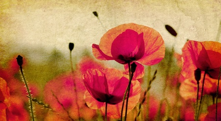 red poppies on ambient background photo