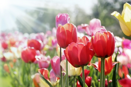 tulip  flower: colorful tulips in the spring sun Stock Photo