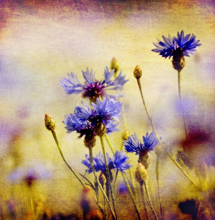 cornflower: blooming blue cornflowers on ambient background