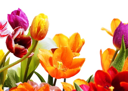 colorful tulips on white background Stock fotó