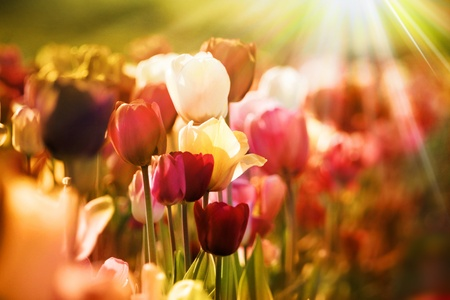 field of flowers: fresh colorful tulips in warm sunlight - retro vintage style