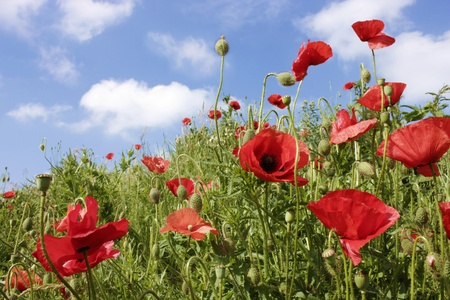 red poppies on a summer day Stock Photo - 13509808