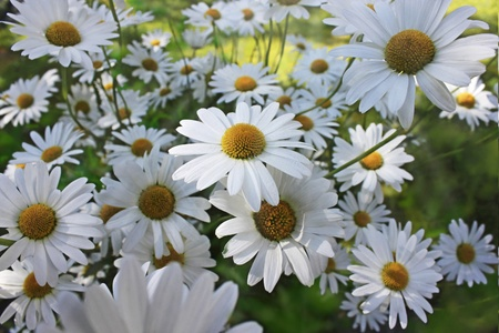 marguerites: beautiful marguerites on a summer day Stock Photo