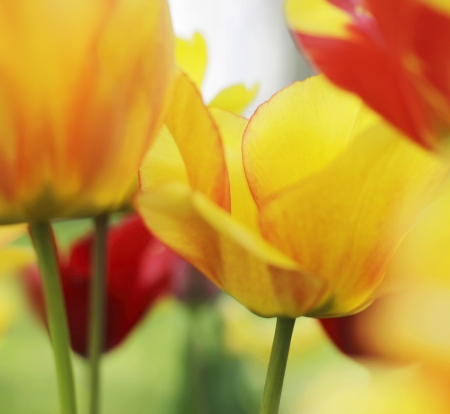 tulips blooming in a garden close-up photo