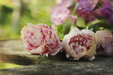 pfingstrosen: heimischen Garten Blumen (Pfingstrosen) auf Holzbrett im Retro-Stil