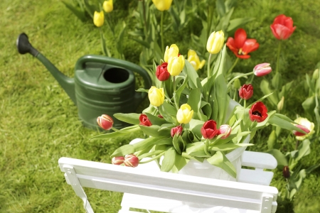 home garden tulips on a garden chair and a watering-can in the background photo