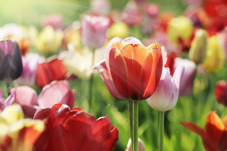 blooming  purple: red, pink, purple and yellow tulips blooming in a garden, a red one closeup in the morning sun Stock Photo