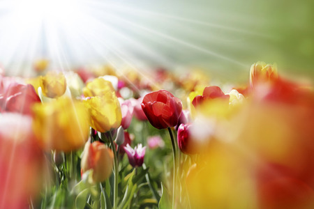 flowering field: red, pink, purple and yellow tulips blooming in a garden, a red one closeup in the morning sun Stock Photo