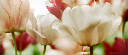 garden key: beautiful spring tulips blooming in a garden, high key Stock Photo