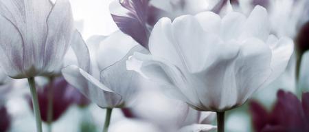 tulpen afgezwakt in pastel paars, licht groen en wit - rouwkaart concept foto