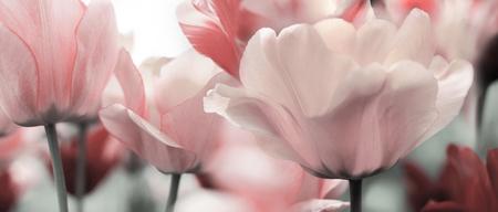 licht roze getinte bloeiende tulpen in een tuin Stockfoto