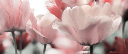 light pink toned blooming tulips in a garden Banque d'images