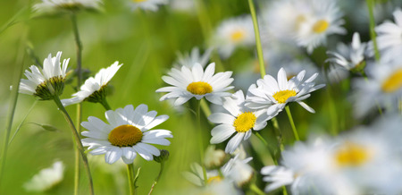marguerites: beautiful marguerites blooming on a summer meadow