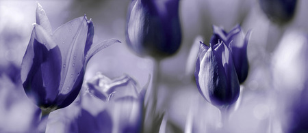 mourning: tulips toned with added different textures, mourning card concept photo