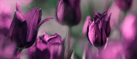 tulips toned with added different textures, mourning card concept photo