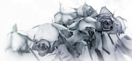 faded and tinted roses on white background, faded flower concept mourning motif Stock fotó