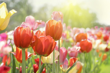 Field of fresh beautiful colorful tulips in bright warm spring sunlight. Close up view.
