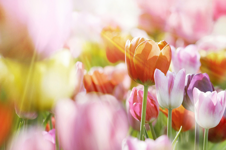Group of fresh beautiful colorful tulips in bright warm spring sunlight. Close up view.