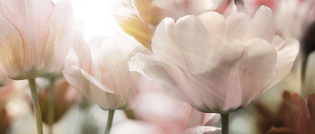 Group of fresh beautiful tulips in bright warm spring sunlight. Close up panorama view. Stock fotó