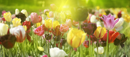 Group of fresh beautiful colorful tulips in bright warm spring sunlight. Close up panorama view.