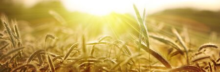 Sun rays on a barley field in summer. Panoramic rural scenery under shining sunset. Stock fotó